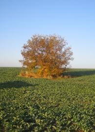 Strom v poli podzim